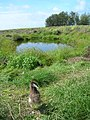 Starr-080612-9587-Solanum americanum-habit with Laysan albatross-Parade seep Sand Island-Midway Atoll (24293011934).jpg