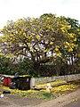 Starr-090421-6223-Tabebuia aurea-flower duff covering ground-Pukalani-Maui (24656834140).jpg
