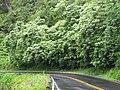 Starr-090618-1076-Aleurites moluccana-habit along roadside-Hana Hwy-Maui (24847567272).jpg