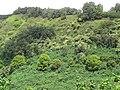 Starr-090618-1147-Mangifera indica-habit on hillside-Keanae-Maui (24338921483).jpg