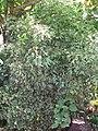 Starr-090720-3016-Polyscias guilfoylei-habit-Waiehu-Maui (24876772541).jpg