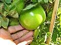 Starr-090801-3485-Solanum lycopersicum-green fruit in garden-Olinda-Maui (24340266104).jpg