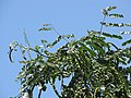 Starr-090814-4394-Adenanthera pavonina-leaves and seedpods-Kihei-Maui (24972388685).jpg