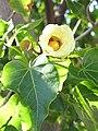 Starr-091221-0760-Thespesia populnea-flower and leaves-Honokanaia-Kahoolawe (24360589834).jpg