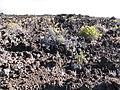 Starr-100714-3284-Pellaea ternifolia-drought stricken-Halemauu Trail Haleakala National Park-Maui (24412926844).jpg