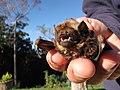 Starr-100907-9057-Eucalyptus sp-habitat with Hawaiian hoary bat Lasiurus cinereus semotus-Olinda-Maui (24933274472).jpg