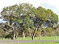 Starr-110103-9883-Jacaranda mimosifolia-habit-Kula-Maui (24703709809).jpg