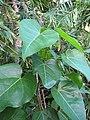 Starr-110215-1183-Thespesia populnea-leaves-KiHana Nursery Kihei-Maui (24448930393).jpg