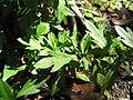 Starr-110307-1922-Erigeron karvinskianus-leaves-Kula Botanical Garden-Maui (25050907806).jpg
