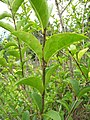 Starr-110331-4609-Ligustrum sp-leaves-Shibuya Farm Kula-Maui (24714314879).jpg