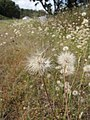Starr-110405-4841-Hypochoeris radicata-seedheads-Kula-Maui (25056012716).jpg