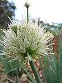 Starr-110411-4971-Allium fistulosum-flowers-Hawea Pl Olinda-Maui (24989239871).jpg