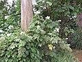 Starr-111129-1523-Montanoa hibiscifolia-flowering habit-Ulupalakua-Maui (25002322592).jpg