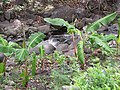 Starr-120229-2787-Musa x paradisiaca-Iholena habit by stream-Waikapu Valley-Maui (24840424860).jpg