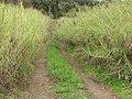 Starr-120312-3753-Cenchrus purpureus-filling road with old house-Kawehi Kula-Maui (24842056100).jpg