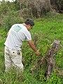 Starr-120329-9229-Delairea odorata-habit with Mach collecting plants for biocontrol project-Kula-Maui (24770576269).jpg