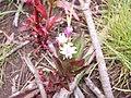 Starr-120501-5448-Epilobium ciliatum-flowers and leaves-Polipoli-Maui (25115727716).jpg