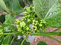 Starr-120620-7522-Jatropha curcas-flowers-Kula Agriculture Park-Maui (25052548301).jpg