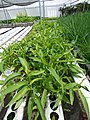 Starr-150326-0864-Ipomoea aquatica-in Hydroponics greenhouse-Town Sand Island-Midway Atoll (24636410974).jpg