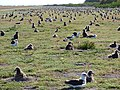 Starr-150401-0421-Solanum americanum-Laysan Albatrosses-West Beach Sand Island-Midway Atoll (25272854435).jpg