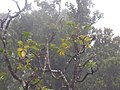 Starr-180909-0908-Polyscias oahuensis-fruit leaves yellowing-Road to Lower Kula Pipeline Waikamoi-Maui (45766365012).jpg