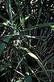 Starr-980528-4088-Phormium tenax-Maori queen-Kula Experiment Station-Maui (24487459776).jpg