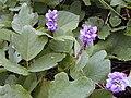 Starr 021012-0015 Pueraria montana var. lobata.jpg