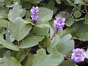 Pueraria montana - Pueraria montana var. lobata
