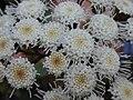 Starr 030405-0061 Ageratina adenophora.jpg
