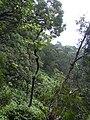 Starr 040713-0004 Antidesma platyphyllum.jpg