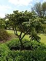 Starr 050407-6238 Munroidendron racemosum.jpg