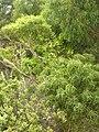 Starr 050816-3546 Smilax melastomifolia.jpg
