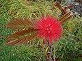 Starr 070308-5454 Calliandra haematocephala.jpg