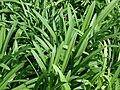 Starr 070906-8461 Agapanthus praecox subsp. orientalis.jpg