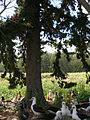 Starr 080604-9203 Juniperus bermudiana.jpg