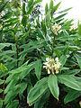 Starr 080716-9459 Hedychium flavescens.jpg