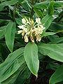 Starr 080716-9460 Hedychium flavescens.jpg