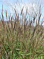 Starr 090121-1031 Melinis minutiflora.jpg