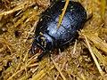 Steel Beetle (Histeridae) in elephant dung (12716892045).jpg