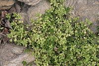 Stellaria pallida (Bleiche Vogel-Sternmiere) IMG 33949