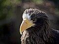 Steller's Sea Eagle at the Cincinnati Zoo.jpg