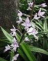 Stenoglottis longifolia -新加坡濱海灣花園 Gardens by the Bay, Singapore- (24611727769).jpg