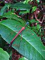 Stick insect (Marmessoidea vinosa?) (8035178428).jpg