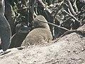 Stony Point Penguin Colony - panoramio (1).jpg