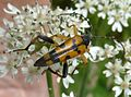 Strangalia maculata. Longhorn Beetle - Flickr - gailhampshire.jpg