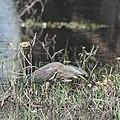 Striated Heron fishing at the edge of a flooded Lake Ira Lalaro.jpg