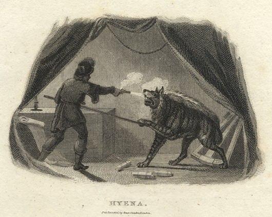 Striped hyena shot