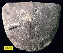 brachiopod wikipedia