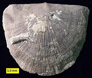 Strophomenata - Strophomenid brachiopod with encrusting cornulitid worm tube (Upper Ordovician, SE Indiana).