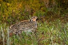 Stubble Quail (Coturnix pectoralis) male (14377891677).jpg